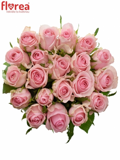 Růžová růže CANDACY