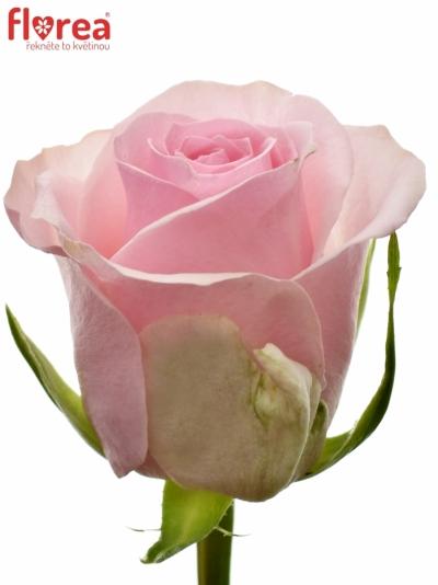 ROSA CANDACY+ 60cm (L)