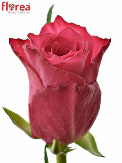 Růžová růže CANDIDATE! 50cm (L)