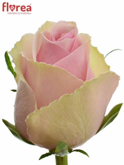 Růžová růže CELY 60cm (L)
