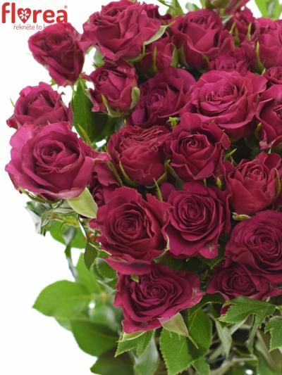 Růžová růže CHEYENNE 40cm/4