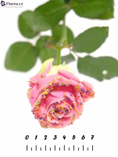 Růžová růže CHOCOLAT DISCO PINK