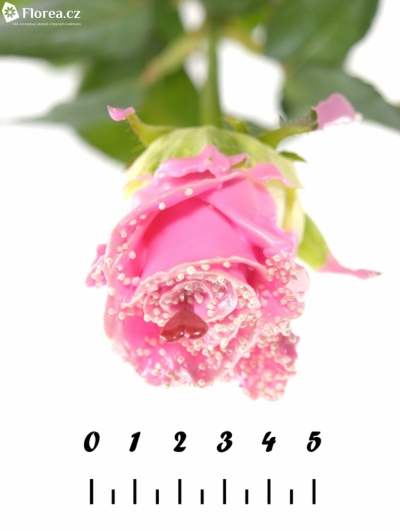 Růžová růže CHOCOLAT PEARL PINK LOVE 60cm