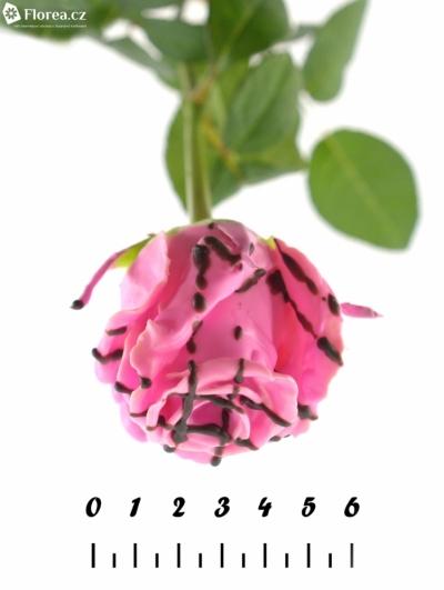Růžová růže CHOCOLAT STRIP PINK