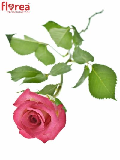 ROSA CLARION 40cm (S)