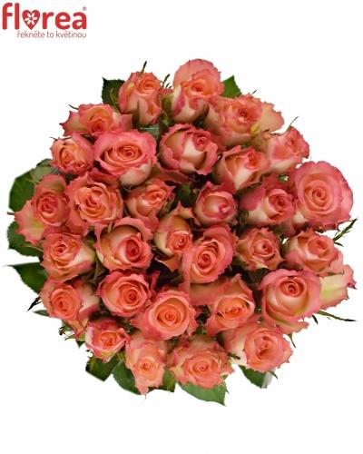 Růžová růže CLASSIC DUETT 60cm