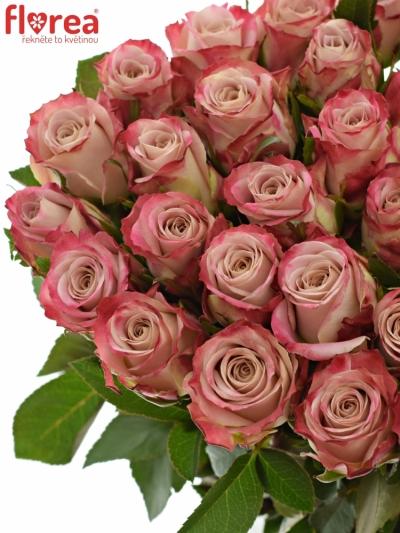 Růžová růže CLASSY ALISON 50cm