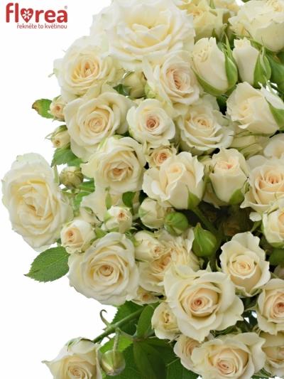 Růžová růže CREAM GRACIA 60cm/4+
