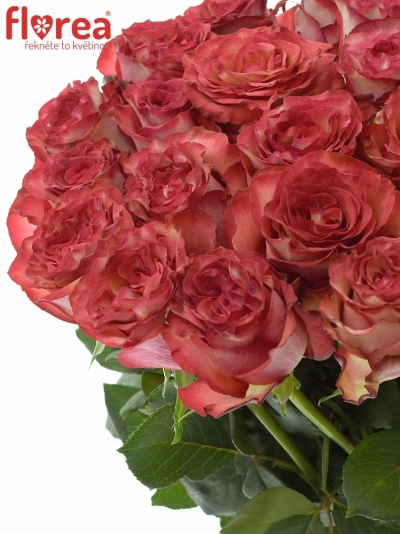 Růžová růže DIABOLO 80cm (XL)