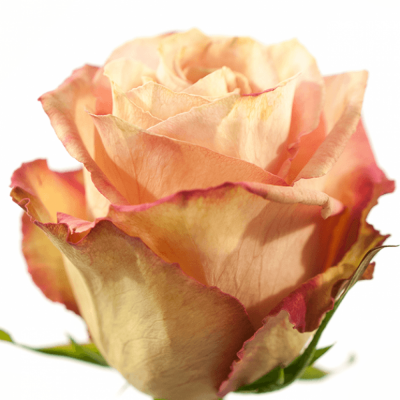 Růžová růže EDGE 60cm