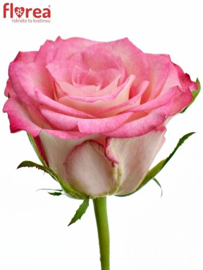 Růžová růže ENSEMBLE 60cm (S)
