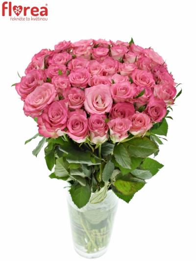 Růžová růže ENSEMBLE 70cm