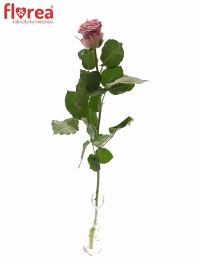 ROSA ENSEMBLE FROST 60cm (M)