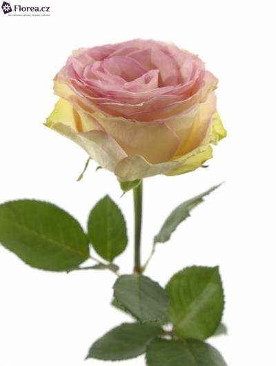 ROSA ESPERANCE 70cm (M)