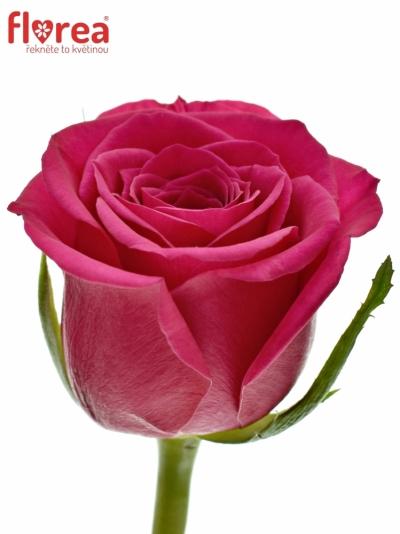 Růžová růže FUCHSIANA 40cm (S)