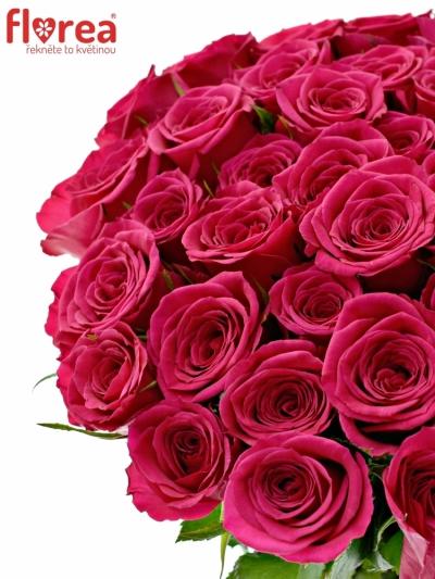 Růžová růže FUCHSIANA