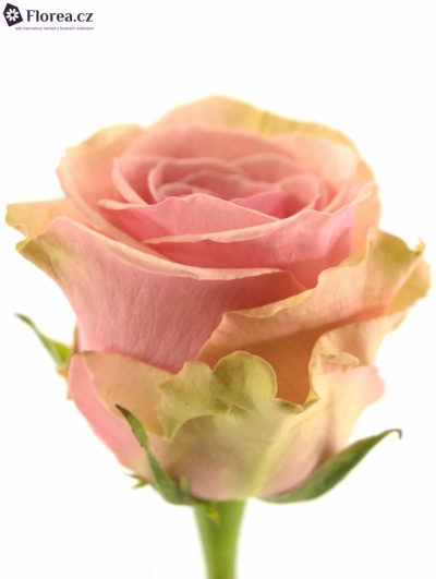 Růžová růže GERALDINE