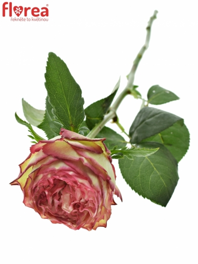 ROSA GLENDOR SUMMERHOUSE 50cm (XXL)