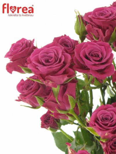 Růžová růže GLORIOUS 60cm/4+