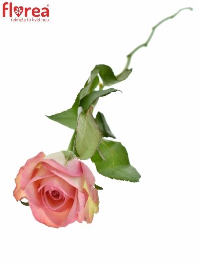 ROSA GLOSSY 50cm (M)