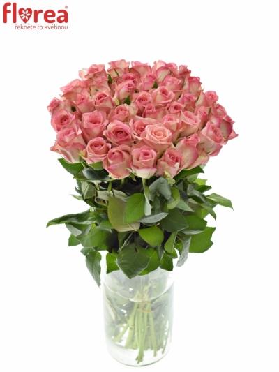 Růžová růže GLOSSY 50cm (M)