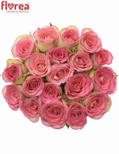 Růžová růže GLOW! 70cm