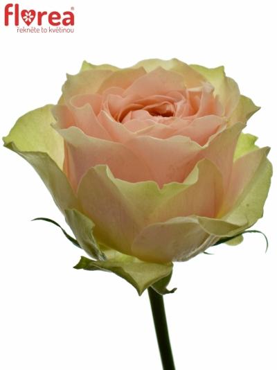 Růžová Růže GRAVITY 80cm (XXL)