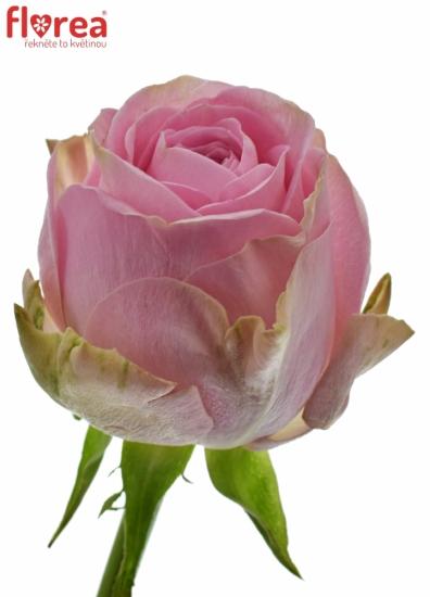 Růžová růže HEIDI! 50cm (M)