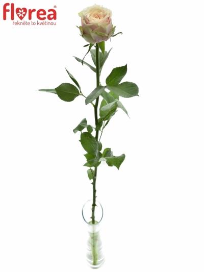ROSA HELEN OF TROY 50cm (L)