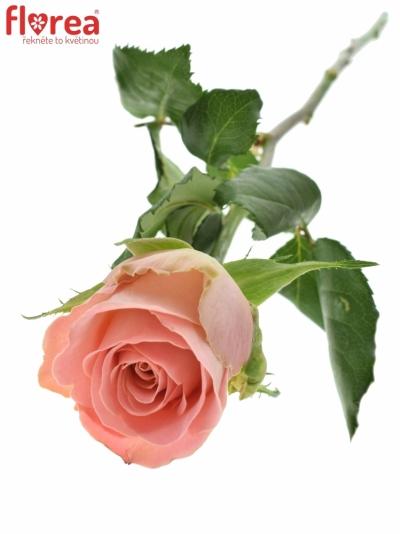 Růžová růže HERMOSA 70cm