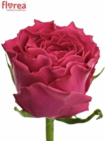 Růžová růže HOTSPOT 80cm (XL)