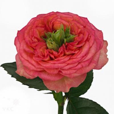 Růžová růže HOUDINI 60cm