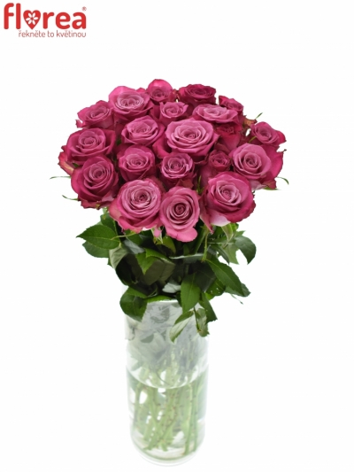 Růžová růže I2I