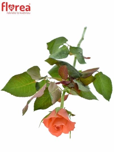 ROSA IMPULSE 60cm (S)