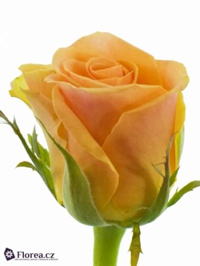 Růžová růže ISIS! 50cm