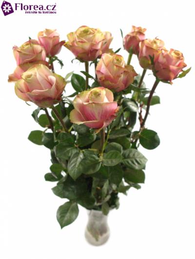Růžová růže JOLIE 80cm (L)