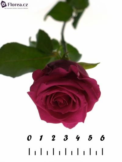 Růžová růže KARENZA 50cm
