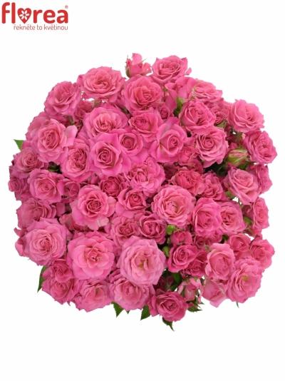 Růžová růže LIANNE