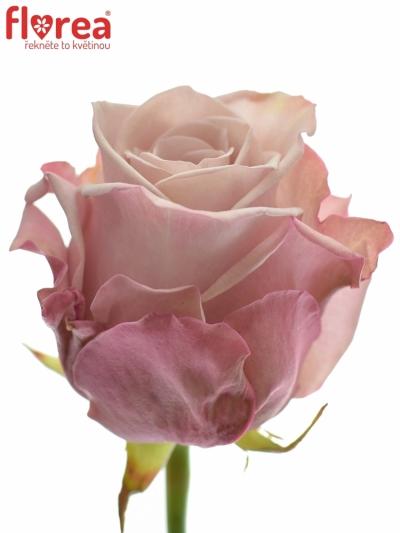 ROSA LOVELACE+ 50cm (L)