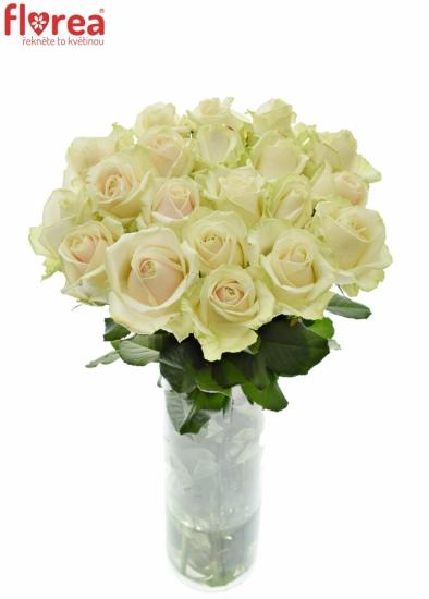 Růžová růže LOVELY AVALANCHE+ 60cm (XL)