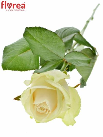ROSA LOVELY AVALANCHE+ 60cm (XL)