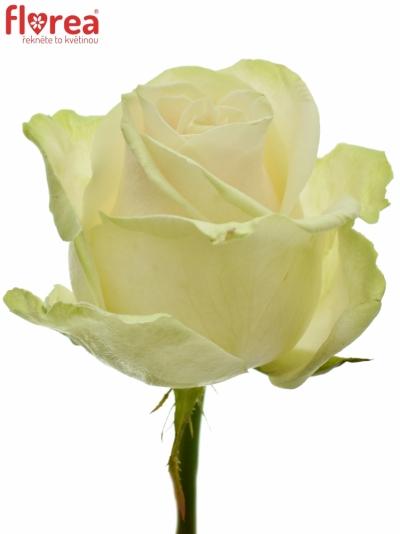Světle růžová růže LOVELY AVALANCHE+ 90cm (XL)