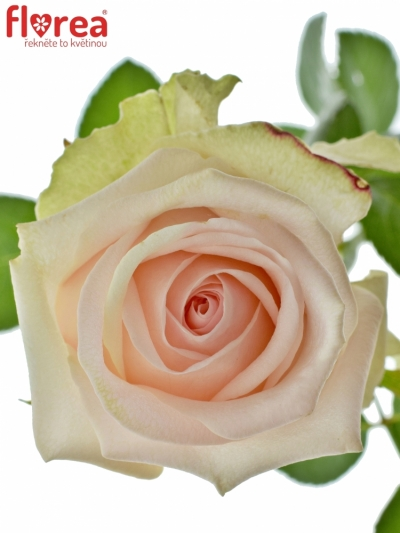 ROSA LOVELY DOLOMITI 50cm (L)