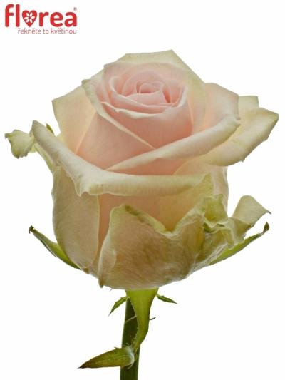 Růžová růže LOVELY DOLOMITI 55cm