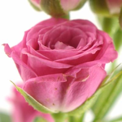 Růžová růže LOVELY LYDIA 50cm/3+
