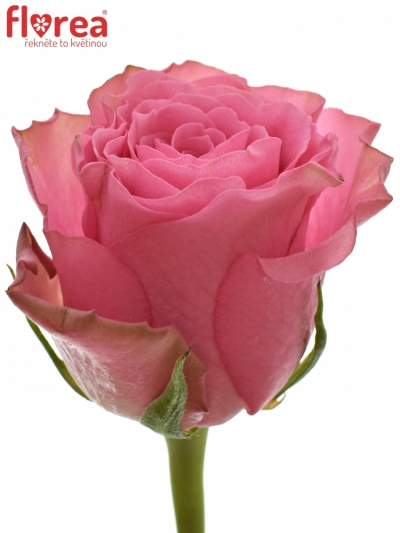 ROSA LOVELY RHODOS 90cm (XL)
