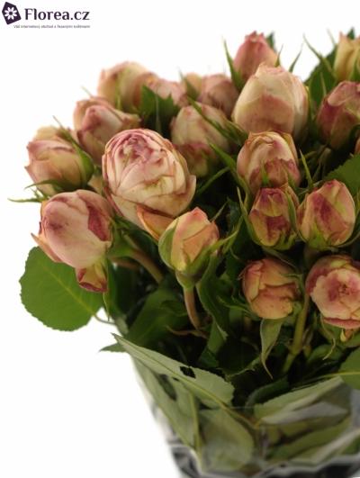Růžová růže LOVELY ROKOKO