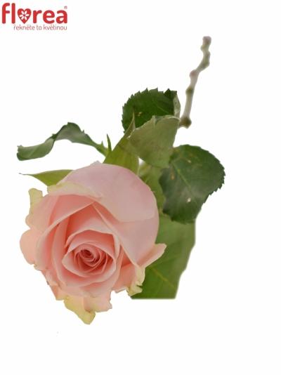 Růžová růže LUPITA
