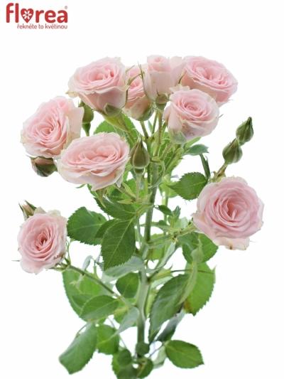 Růžová růže LYDIA 35cm/2+