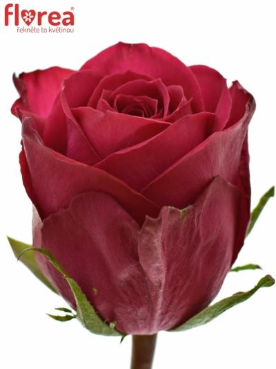 ROSA MADAM CERISE 50cm (S)